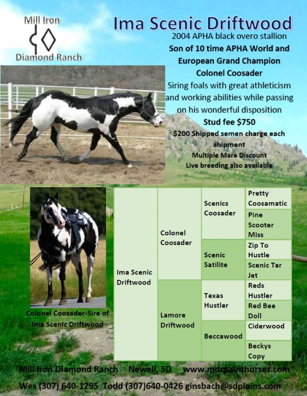 Black Overo Paint Stallion for Sale in South Dakota