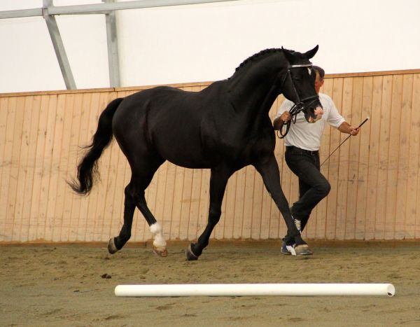Black Hanoverian Stallion for Sale in British Columbia