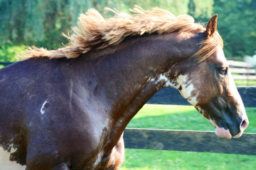 Sabino Paint Stallion