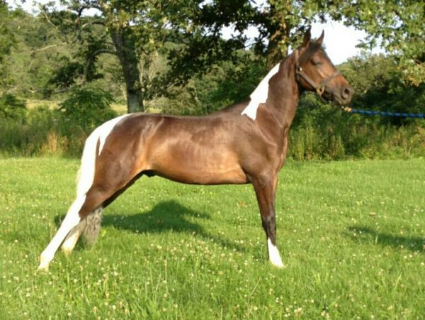 Bay Tennessee Walking Stallion for Sale in Kentucky