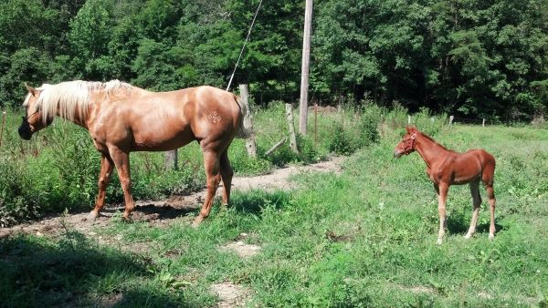 Sorrel Quarter Horse for Sale in Kentucky