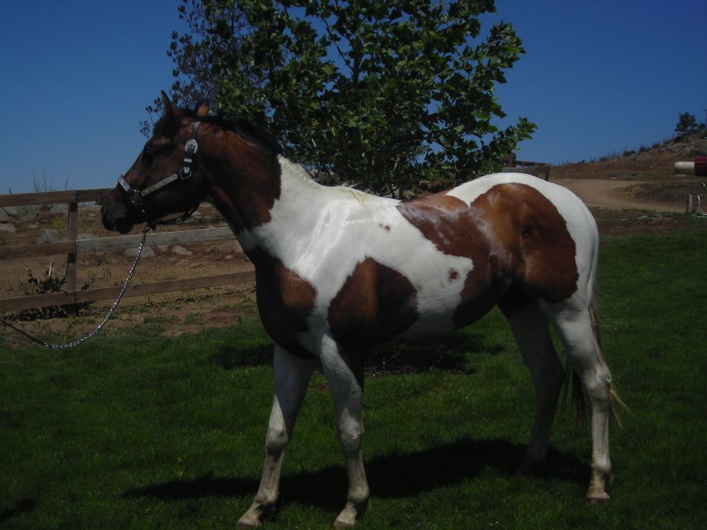 Dun Paint Stallion