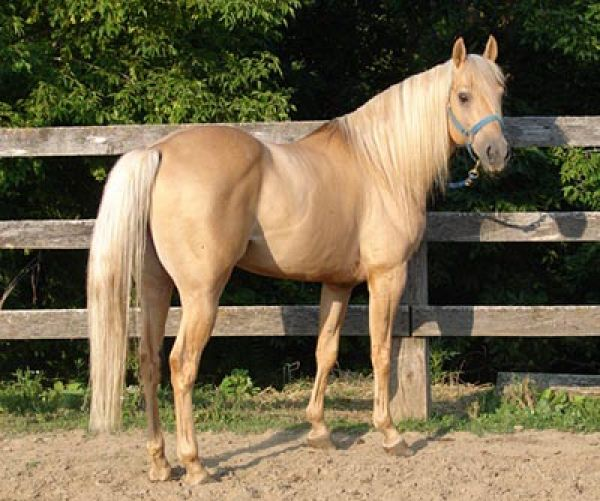 Palomino Quarter Horse Stallion for Sale in Iowa