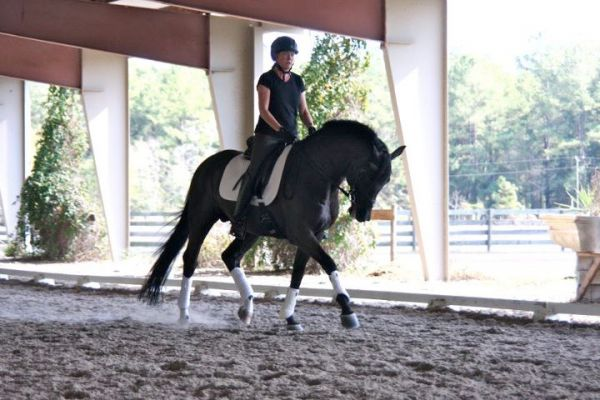 Black Dutch Warmblood Stallion for Sale in Pennsylvania