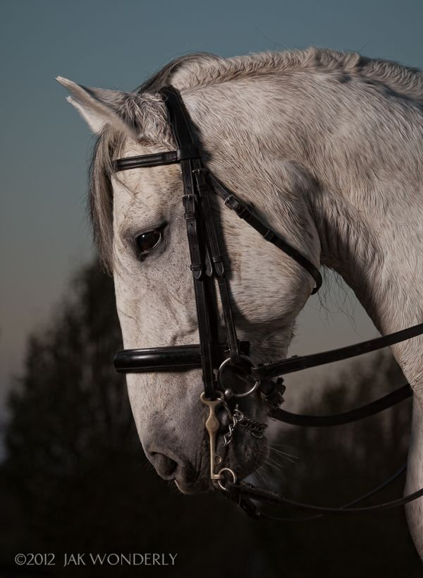 Grey Lusitano Stallion