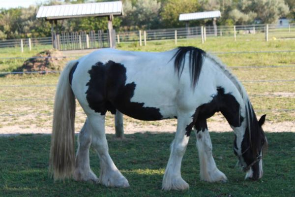 Piebald Gypsy Vanner Stallion for Sale in Maryland