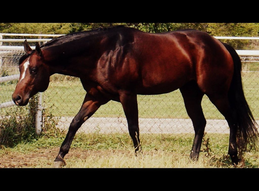 Bay Quarter Horse Stallion