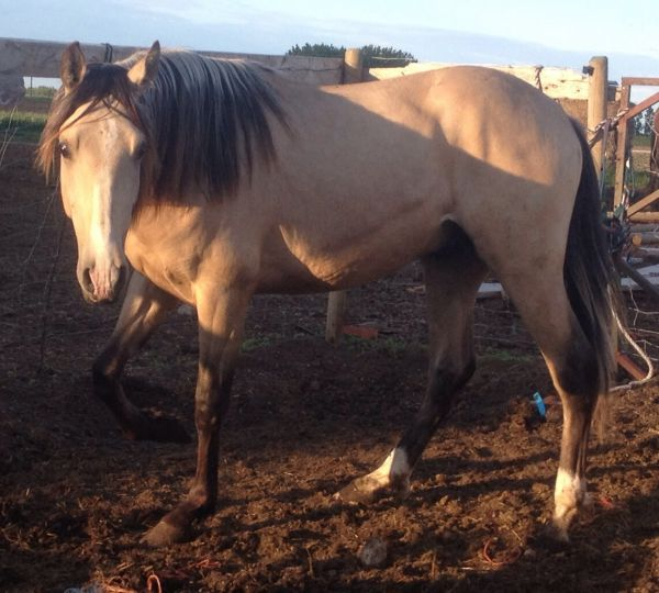 Buckskin Andalusian Stallion for Sale in Alberta