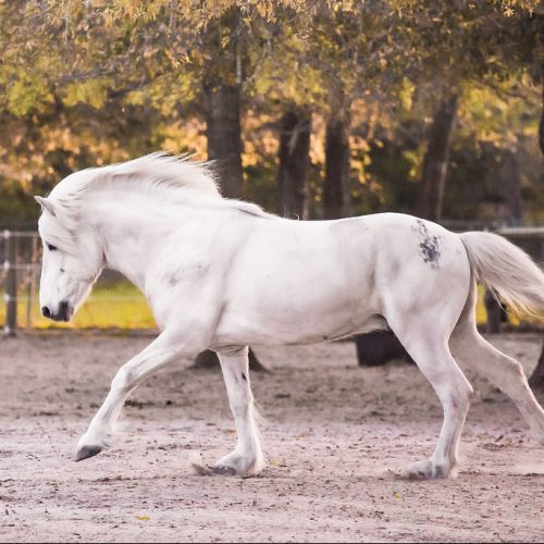 Grey Icelandic Stallion for Sale in Pennsylvania