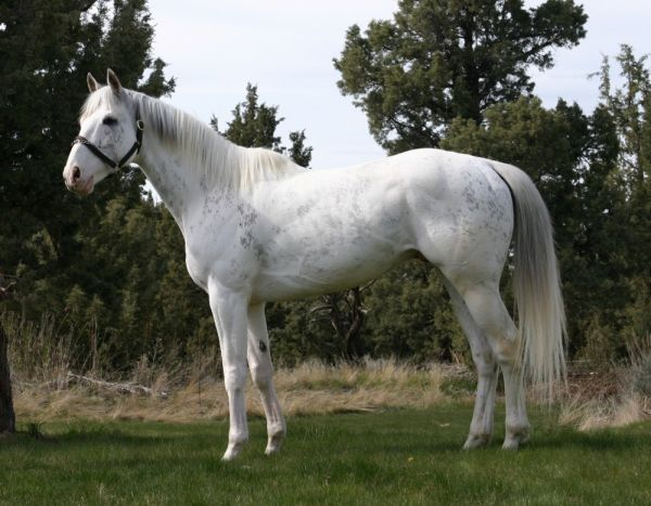 White Thoroughbred Stallion for Sale in Florida