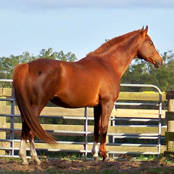 Chestnut Thoroughbred Stallion for Sale in Florida