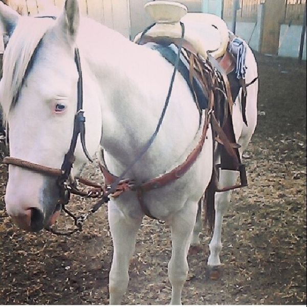 White Paint Stallion for Sale in California