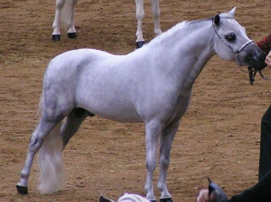 Grey Miniature Stallion