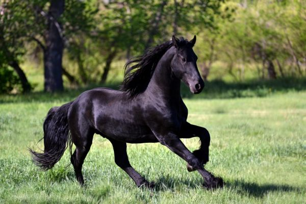 Black Friesian Stallion for Sale in Colorado