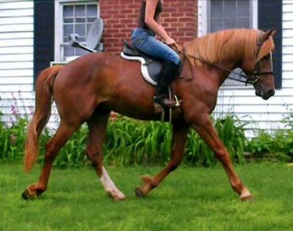 Sorrel Warmblood Stallion for Sale in North Carolina