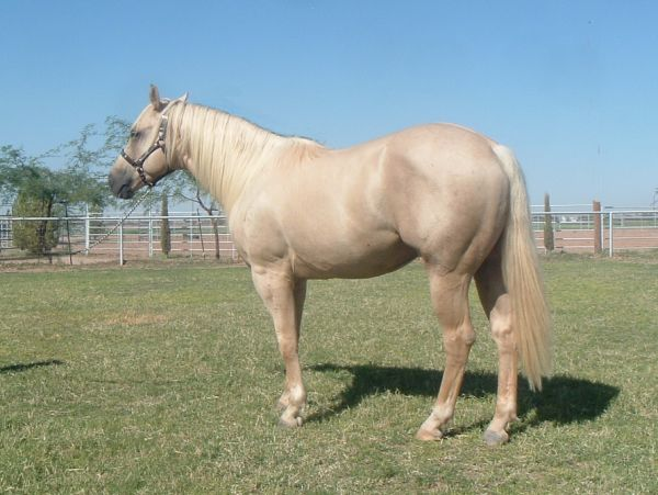 Palomino Quarter Horse Stallion for Sale in Arizona