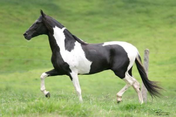 Pinto Marchador Stallion for Sale in Arizona