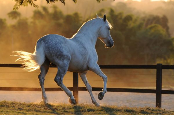 Grey Marchador Stallion for Sale in Arizona