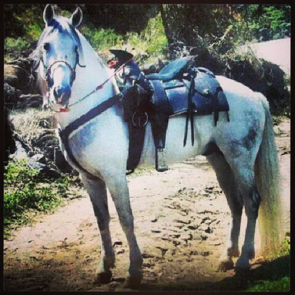 Grey Azteca Stallion for Sale in Texas