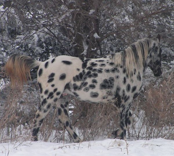 Black Appaloosa Horse for Sale in South Dakota