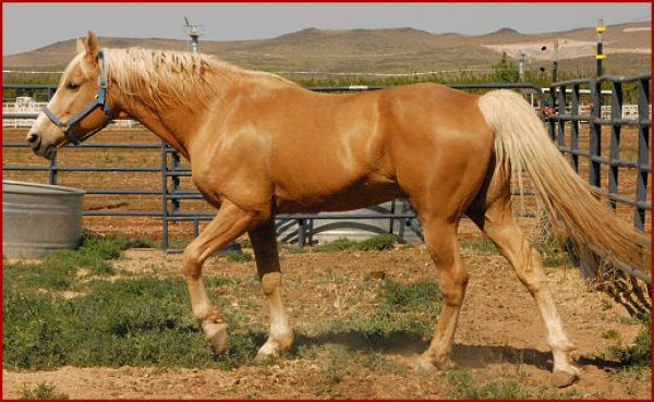 Palomino Missouri Fox Trotter Stallion for Sale in Utah