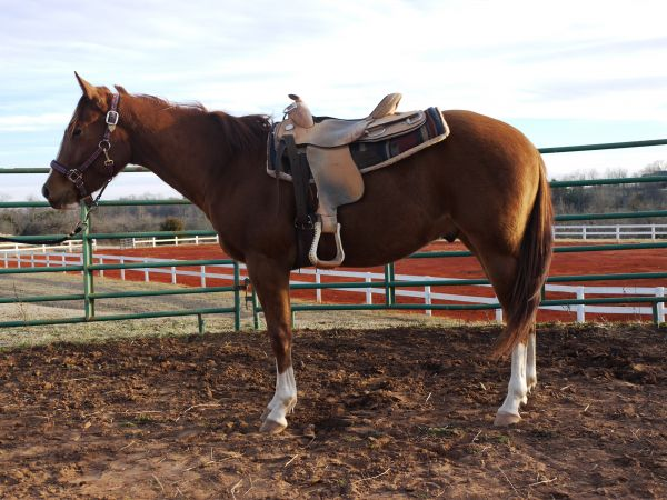 Sorrel Overo Paint Horse for Sale in Virginia