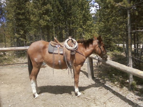 Brown Mule Horse for Sale in Montana