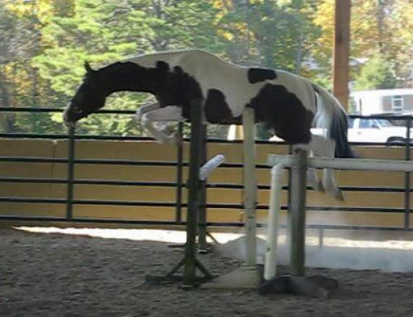 Tobiano Oldenburg Stallion for Sale in Illinois