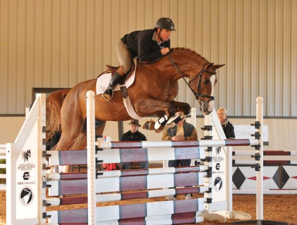 Chestnut Hanoverian Stallion for Sale in Ontario