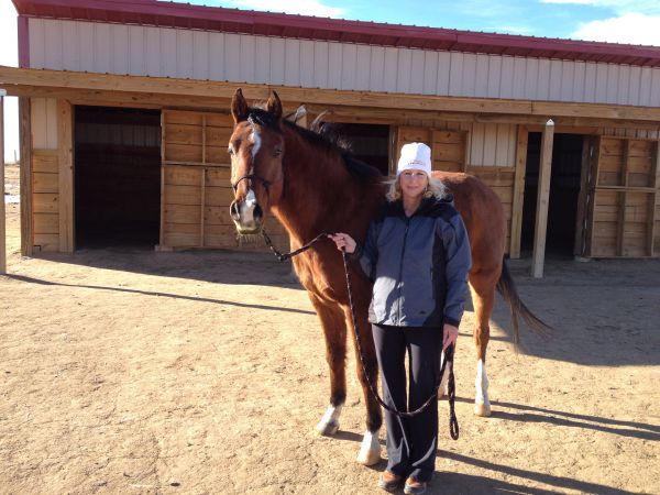 Bay Arabian Horse for Sale in Colorado