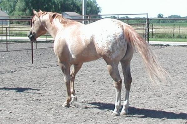 Red Dun Appaloosa Stallion for Sale in Iowa