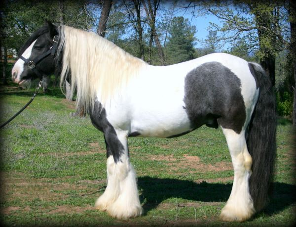 Piebald Gypsy Vanner Horse for Sale in California