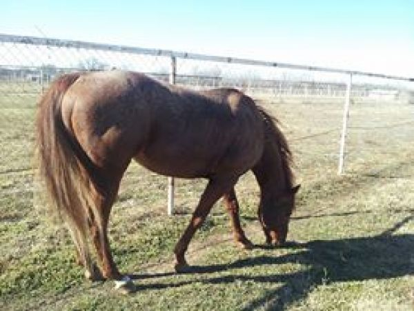 Chestnut Quarter Horse Stallion for Sale in Oklahoma