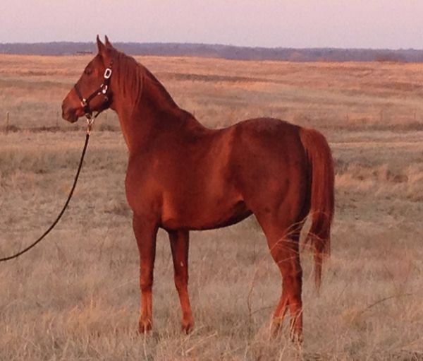 Chestnut Thoroughbred Stallion for Sale in Oklahoma