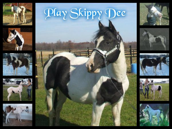 Black Paint Stallion for Sale in Ohio