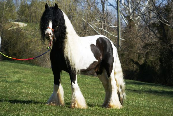 Piebald Gypsy Vanner Stallion for Sale in Virginia