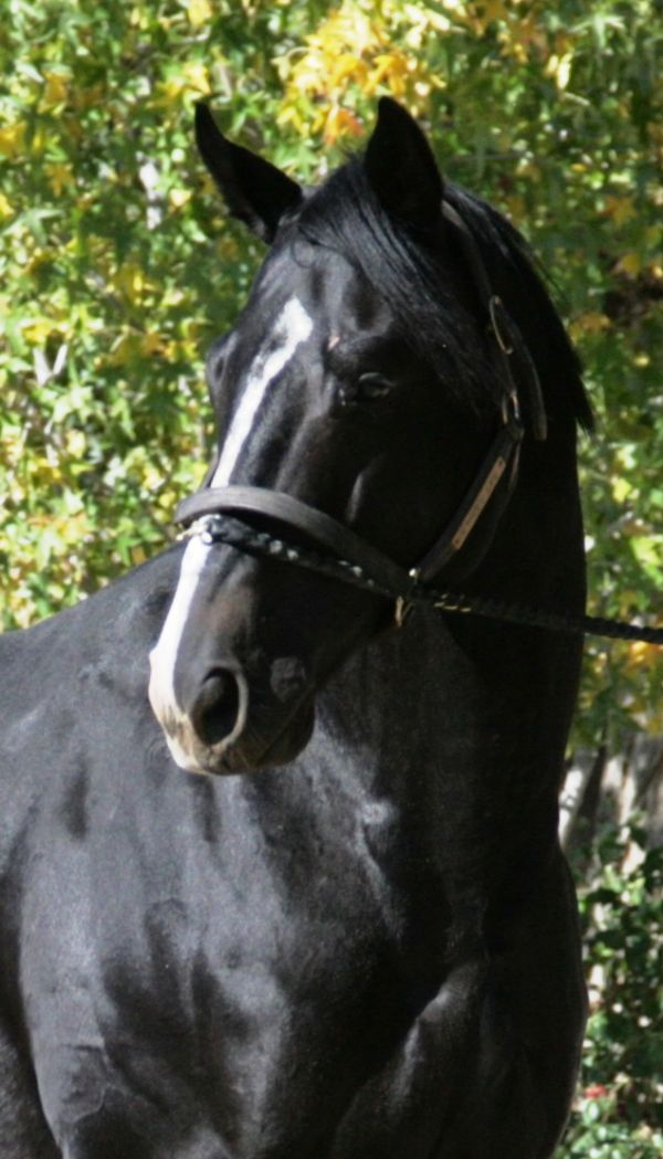 Black Thoroughbred Stallion