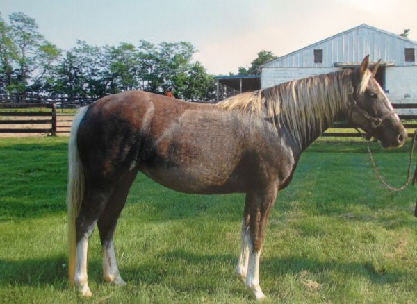 Silver Dapple Kentucky Mountain Horse for Sale in
