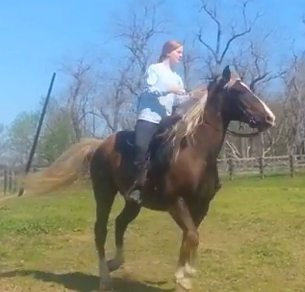 Chocolate Kentucky Mountain Horse for Sale in