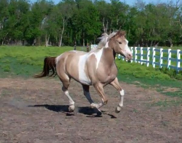 Champagne Half Arabian Horse for Sale in Texas