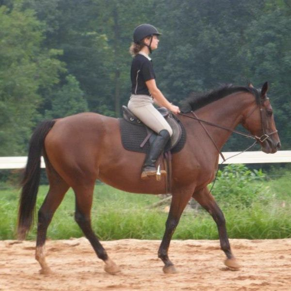 Bay Thoroughbred Horse for Sale in Pennsylvania