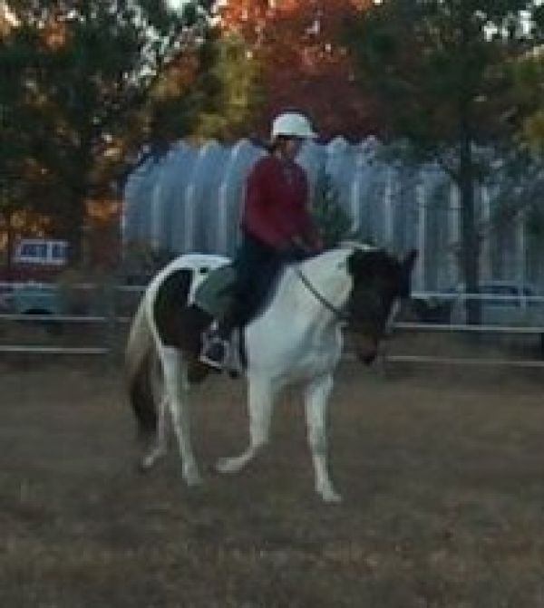 Pinto Paint Horse for Sale in North Carolina