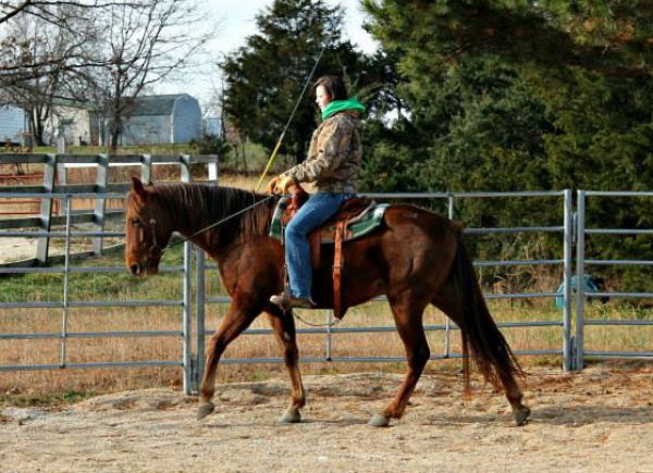 Liver Chestnut Missouri Fox Trotter Horse for Sale in Virginia
