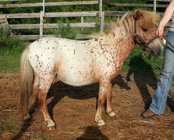 Chestnut Miniature Horse for Sale in Saskatchewan