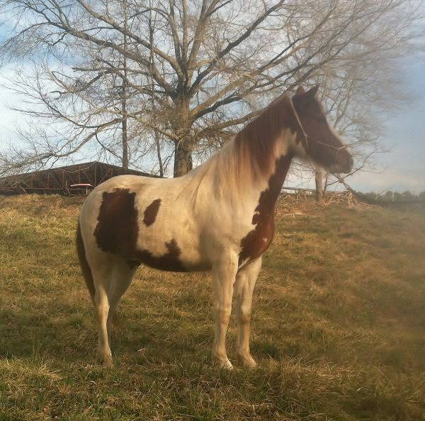 Pinto Paso Fino Horse for Sale in North Carolina