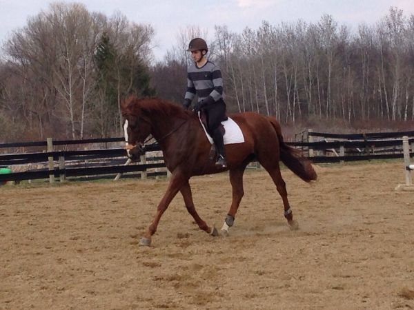 Chestnut Thoroughbred Horse for Sale in Michigan