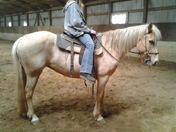 Palomino Missouri Fox Trotter Horse for Sale in Ohio