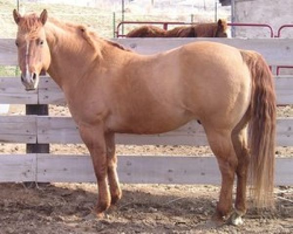 Dun Quarter Horse Stallion for Sale in Washington
