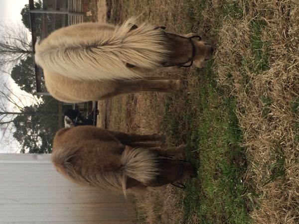 Chocolate Miniature Horse for Sale in Louisiana