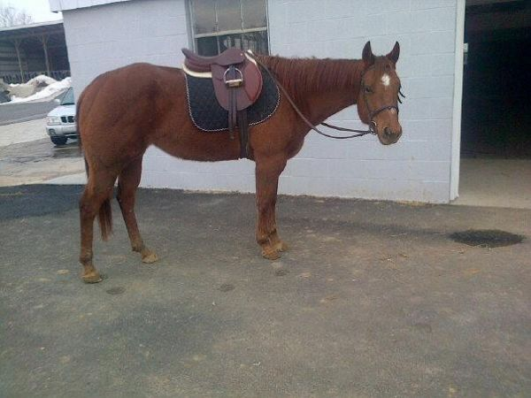 Chestnut Quarter Horse for Sale in Pennsylvania